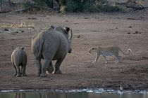 Leopard-walking-past-white-rhino-and-its-calf