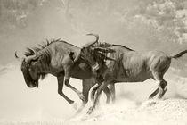 Two wildebeests battling unto death. von Yolande  van Niekerk