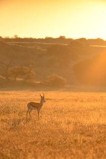 Lone Springbuck standing in golden early morning light. by Yolande  van Niekerk