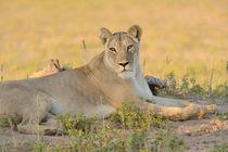 Lioness resting on sandy ground in Kalahari desert. by Yolande  van Niekerk
