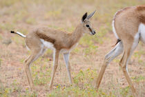 Close-up photo of wet baby Springbuck standing behind its mother. von Yolande  van Niekerk