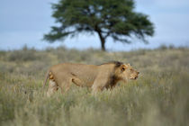 Roaming roaring Lion, Kalahari. by Yolande  van Niekerk