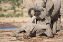 Young African Elephant at play by Yolande  van Niekerk