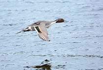 Northern Pintail Duck in Flight by Louise Heusinkveld