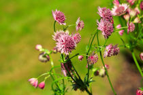 Masterwort, Astrantia major by Louise Heusinkveld