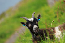 Lynton Goat, Valley of the Rocks, Exmoor. by Louise Heusinkveld