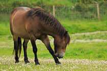Exmoor pony grazing in Valley of the Rocks von Louise Heusinkveld