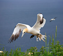 Gannet in Flight von Louise Heusinkveld