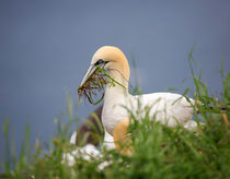 Northern Gannet gathering nesting material by Louise Heusinkveld