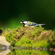 Great Tit by Louise Heusinkveld