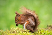 Red-squirrel0644