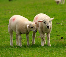Twin lambs in spring by Louise Heusinkveld