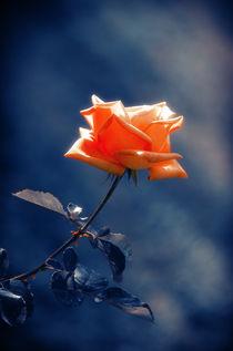 Rose-indigo-1
