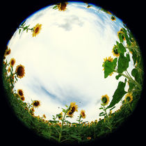 'Sonnenblumen' by Falko Follert