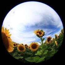Sonnenblumen by Falko Follert