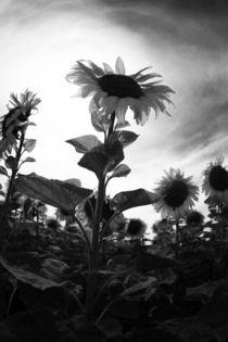 Sonnenblume-031