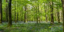 Beech Wood Bluebells by David Tinsley