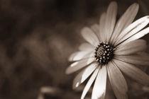 'Daisy Shine' von Clare Bevan