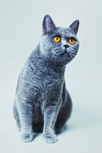 British gray cat with yellow eyes by Igor Korionov