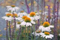 Echinacea alba  by Ursula Pechloff