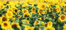 Sonnenblumenpanorama by moqui