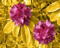 Rot auf Gelb von lorenzo-fp