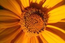 Sonnenblume von Ralf Wolter