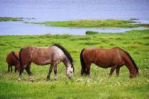 Pferde im Kattinger Watt by AD DESIGN Photo + PhotoArt