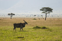 Eland in Masai Mara by Antonio Jorge Nunes