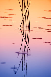 Reeds in sunset by Wolfgang Kaehler