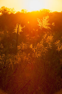 Grasses in sunset by Wolfgang Kaehler