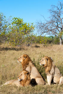 Lion brothers in the Okavango by Wolfgang Kaehler