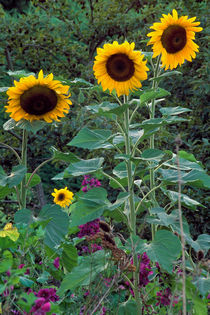 208-helianthus-family-980087-002-v-9-v-17-v-19