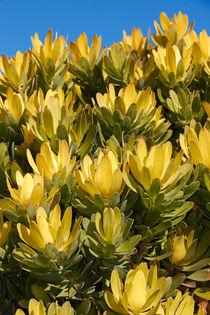 Leucadendron 'Inca Gold' von Geoff Bryant