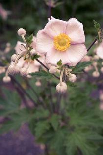 Blüten und Knospen von sylbe