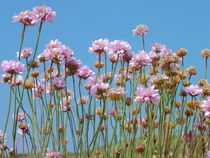 Pink Cornish Thrift by Roger Butler