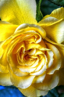 Yellow Rose by Stephen Walton