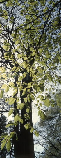 Looming beech tree in spring by Intensivelight Panorama-Edition