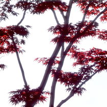 Japanese maple tree  von Intensivelight Panorama-Edition