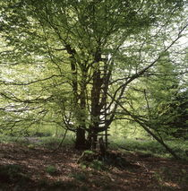 Hunter's hide in a beech tree von Intensivelight Panorama-Edition