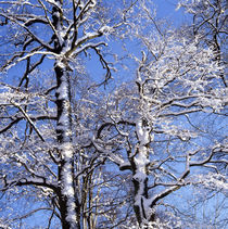 Snow covered beech trees von Intensivelight Panorama-Edition