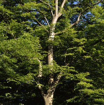 Strong beech tree in summer von Intensivelight Panorama-Edition