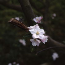 Twig of a flowering apple tree by Intensivelight Panorama-Edition