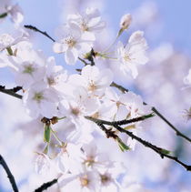Cherry blossoms and blue sky by Intensivelight Panorama-Edition