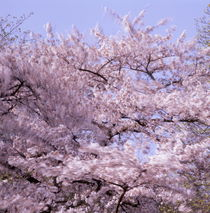 Cherry tree moving in the wind by Intensivelight Panorama-Edition
