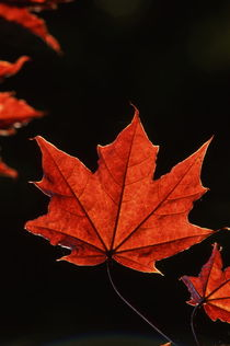 Red maple leaf in autumn by Intensivelight Panorama-Edition