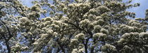 Flowering pear tree in spring by Intensivelight Panorama-Edition