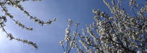 Blossoming cherry twigs and blue sky by Intensivelight Panorama-Edition