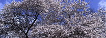 Cherry tree blooming in spring - panorama by Intensivelight Panorama-Edition