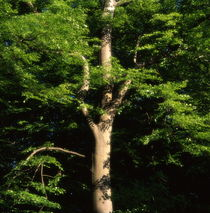 Strong beech tree in summer - dreamlike von Intensivelight Panorama-Edition